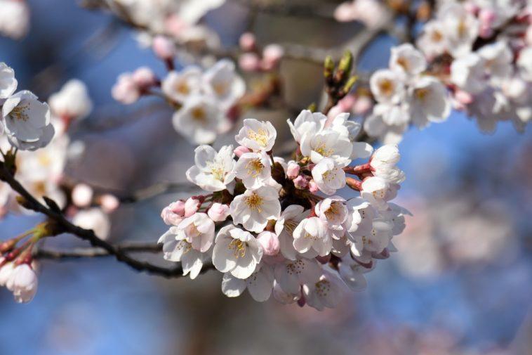 桜の季節は陽気上昇
